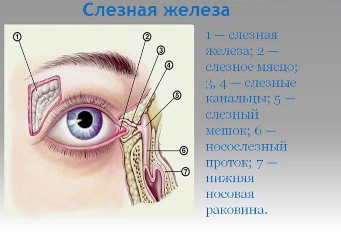 Слезная железа глаза