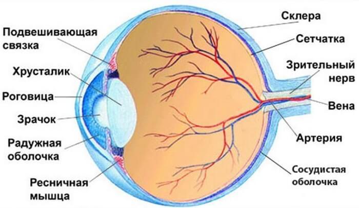 Cтроение глаза человека